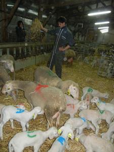 agneau pour le lait cru de brebis du Fédou Hyelzas. Causse Méjean.